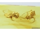 Two Jumping Spiders. fossil inclusions in Baltic amber #7190
