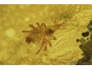 Snipe Fly, Rhagionidae and Mite, Bdellidae. Fossil insects in Baltic amber #7217
