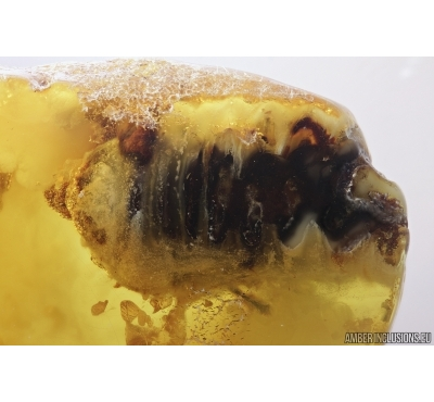 Big 20mm! Beetle larva, Probably Longhorn Beetle, Cerambycidae. Fossil insect in Baltic amber #7295