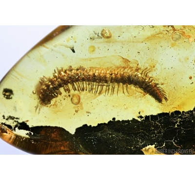Millipede, Diplopoda and Caterpillar, Lepidoptera. fossil inclusions in Baltic amber #7298