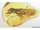 Very Rare, Big 24mm! Scorpionfly, Mecoptera, Bittacidae. Fossil insect in BALTIC AMBER #7323