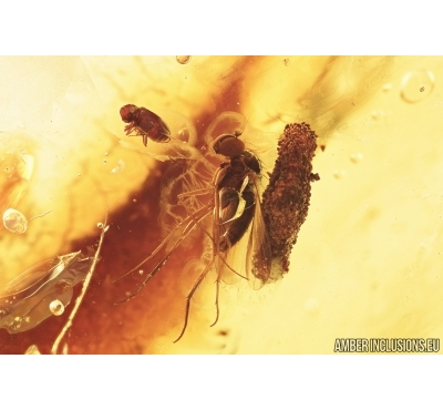 Caterpillar case, Fly, Beetle and Wasp. Fossil inclusion in Baltic amber #7450