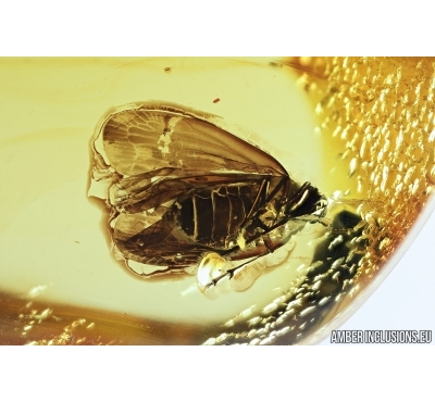 Planthopper, Cicada. Fossil inclusion in Baltic amber #7480