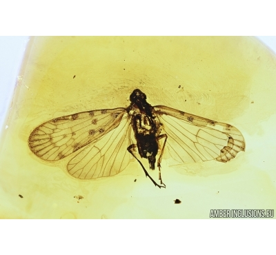 Planthopper, Cicada. Fossil inclusion in Baltic amber #7481