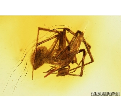 Spider, Araneae. Fossil inclusion in Baltic amber stone #7553
