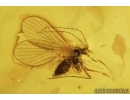 Crane Fly Limoniidae, Moth fly Psychodidae, True midge Chironomidae. Fossil insects in Baltic amber 7593