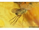Two Wasps, Hymenoptera and More. Fossil inclusions in Baltic amber #7627
