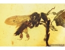 Four Honey Bees, Apoidea. Fossil inclusions in Baltic amber #7631
