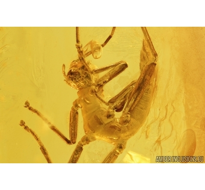 Nice Walking stick, Phasmatodea. Fossil inclusion in Baltic amber #7633