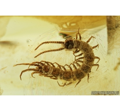 Nice Centipede, Lithobidae. Fossil insect in Baltic amber #7638