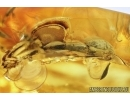 Nice Beetle, Probably Bark-gnawing Beetle, Trogossitidae. Fossil insect in Baltic amber #7646