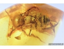 Nice, Big 15mm! Honey Bee, Apoidea. Fossil insect in Baltic amber #7709