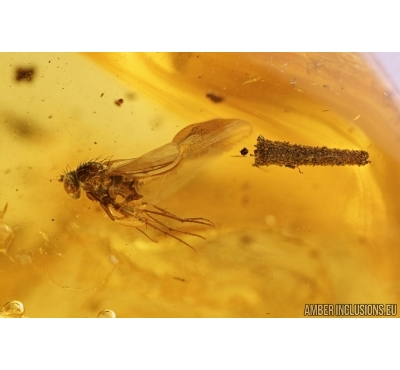 Caterpillar Case Lepidoptera and Long-legged fly Dolichopodidae. Fossil inclusions in Baltic amber #7756