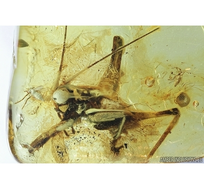 Big 10mm! Cricket, Orthoptera. Fossil insect in Baltic amber #7882