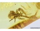 Very Nice Pseudoscorpion, Coccid female, Spider, Mite and More . Fossil inclusions in Baltic amber #7948