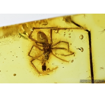 Spider, Araneae. Fossil inclusion in Baltic amber stone #7977