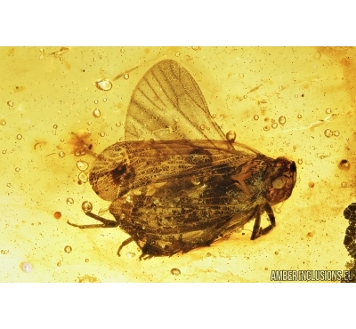 Planthopper, Cicada and Caddisfly, Trichoptera . Fossil insects in Baltic amber #8044