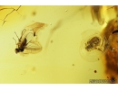 Pseudoscorpion and More. Fossil inclusions in Baltic amber #8072