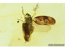 Very nice Planthopper, Cicada. Fossil insect in Baltic amber #8126