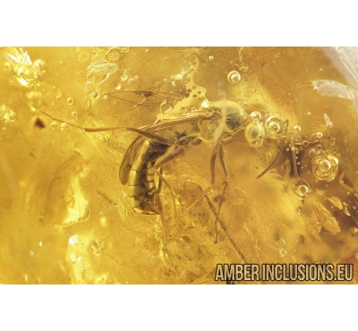 Winged Ant, Formicidae and Bristletail, Machilidae. Fossil inclusion in Baltic amber #8202a