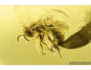 Rare aphid wasp, Apoidea, Pemphredonidae. Fossil inclusion in Baltic amber #8217