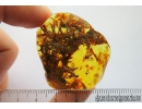 Gall Midge, Cecidomyiidae, Beetle,Moss and More. Fossil inclusions in Baltic amber #8247