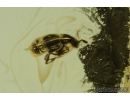 Fungus gnat, Click beetle Elateroidea and Rove beetle Staphylinidae Pselaphinae. Fossil insects in Baltic amber #8262