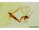 Sciaridae, Dark-Winged fungus gnats Mating (Copula). Fossil inclusions in Baltic amber #8319