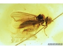 Nice True Fly, Hybotidae. Fossil insect in Baltic amber #8454