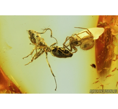 Ant Hymenoptera and Spider Araneae. Fossil inclusions in Baltic amber #8897