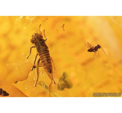 Nice Plant-hopper Nymph Cicadina and Wasp Hymenoptera. Fossil insects in Baltic amber #8935