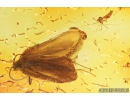 Caddisfly Trichoptera and More. Fossil insects in Baltic amber #8977