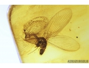Lacewing, Neuroptera, Sisyridae. Fossil insect in Baltic amber #8993