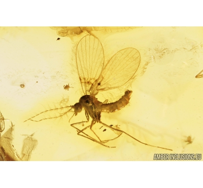 Nice Moth fly Psychodidae and Thrips Thysanoptera. Fossil insects in Baltic amber #9189